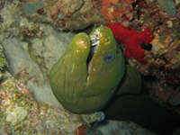 Moray eel peering out from coral home